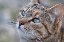 Turquoise eyes. Cat at countryside looking ahead with turquoise eyes royalty free stock image