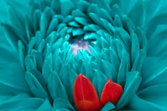 Turquoise Fantasy Dahlia and Red Petals Close-Up Stock Photos