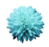 Turquoise flower chrysanthemum.  garden flower.  white  isolated background with clipping path.  Closeup. no shadows. Royalty Free Stock Photos
