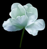 Turquoise flower tulip on black isolated background with clipping path. Close-up.  no shadows. Shot of White Colored. Nature Royalty Free Stock Photo