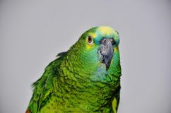Turquoise-fronted amazon Royalty Free Stock Photo