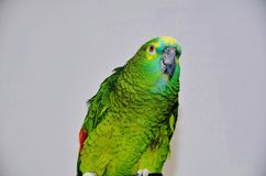 Turquoise-fronted amazon. Blue fronted amazon parrot staring contest Stock Photo