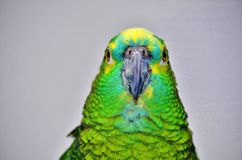 Turquoise-fronted amazon. Blue fronted amazon parrot staring contest Royalty Free Stock Image