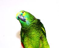 Turquoise-fronted amazon. Blue fronted amazon parrot staring contest Royalty Free Stock Photo