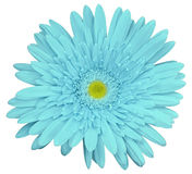 Turquoise gerbera flower, white isolated background with clipping path. Closeup. no shadows. For design. Nature royalty free stock image