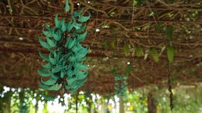 Turquoise jade vine emerald high definition stock footage. Strongylodon macrobotrys, commonly known as jade vine, emerald vine or turquoise jade vine, high stock footage