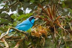 Turquoise Jay Stock Photography