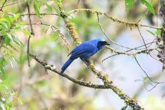 Turquoise Jay stock photos