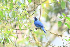Turquoise Jay Stock Photo