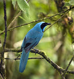 Turquoise Jay - Mindo Cloud Forest - Ecuador. Turquoise Jay (Cyanolyca turcosa) in Mindo Cloud Forest in the Pichincha region of Northern Ecuador Stock Photos