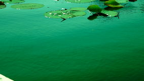 Turquoise Lake, Lotus Leaves With Water Shining In The Sun stock video