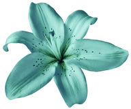 Turquoise lily flower on isolated white background with clipping path. Closeup. no shadows. For design. Nature royalty free stock photo