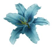 Turquoise lily  flower  on a white isolated background with clipping path  no shadows.  For design, texture, borders, frame, backg Royalty Free Stock Photo