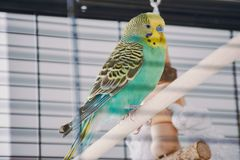 Turquoise budgie with yellow head sitting on a wooden bar in the cage royalty free stock photo