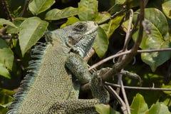 Turquoise Ornate Green Iguana Iguana Warming in Bush Stock Image