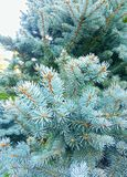 Turquoise Pine Tree Leaves Background stock photo