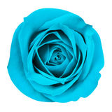 Turquoise Rose isolated Stock Photo