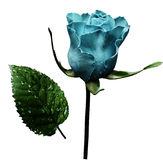 Turquoise rose  on white isolated background with clipping path.  No shadows. Closeup.  A flower on a stalk with green leaves afte Royalty Free Stock Photography