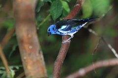 Turquoise tanager. On the tree Royalty Free Stock Photos