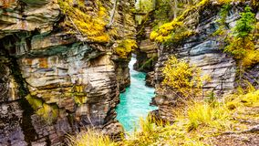 The turquoise waters of the Athabasca River flows through a canyon right after the Athabasca Falls in Jasper National Park. In the province of Alberta, Canada royalty free stock image