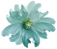 Turquoise wild mallow flower on a white isolated background with clipping path. Closeup. Element of design. Nature Royalty Free Stock Photos