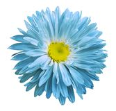 Turquoise-yellow Aster flower on a white isolated background with clipping path. Flower for design, texture,  postcard, wrapper. Closeup.  Nature Royalty Free Stock Images