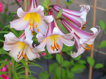 Lilies like bells .. Royalty Free Stock Images