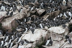 Turr. Cliff with flock of turr Stock Photography