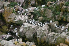 Turr and puffins. Cliff with turr and puffins perched Stock Photography