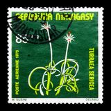 Turraea sericea,植物serie,大约1975年 免版税库存照片