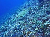Turretfish горба, море коралла, Бали, Индонезия Стоковые Изображения RF