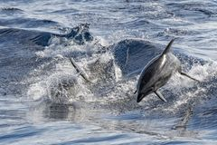 Dolphin while jumping in the deep blue sea. Tursiop dolphin jumping outside the sea royalty free stock image