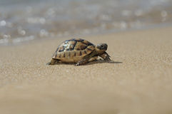 Turtel animals. Alanya turkey  beach turtel animals Stock Photography