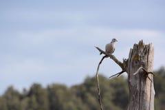 Turteltaube auf Baum Stockfotos