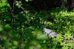 Turteltaube, die auf dem Gras in der Rückseite sitzt Stockfotos