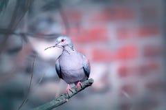 Turteltaube Tier-broodiness mit Nest-bildendem Vogel auf Niederlassung Lizenzfreie Stockbilder