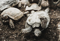 Turtes turn over i, zoo. Turtes turn over in the zoo Royalty Free Stock Photography