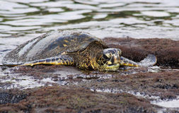 Turtle 01 Royalty Free Stock Photo
