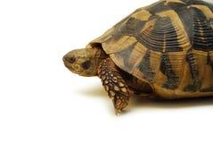 Turtle Royalty Free Stock Image