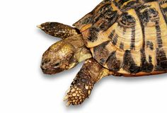 Turtle. A close-up shot af a terrain turtle Stock Photography