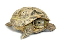 Turtle. Reptile turtle, desert animal, slow speed, isolated on white background royalty free stock images