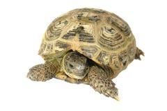 Turtle. Reptile turtle, desert animal, slow speed, isolated on white background royalty free stock photos