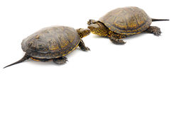 Turtle. Object turtle on white background Royalty Free Stock Photography
