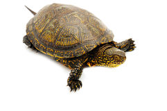 Turtle. Object turtle on white background Royalty Free Stock Photos