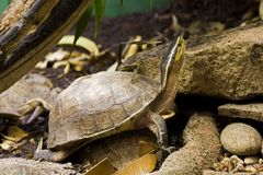 Turtle. Asian Box Turtle (Cuora spp.) is native to southwest asia Royalty Free Stock Photos