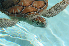 Turtle. Picture of a Turtle swimming Stock Photos
