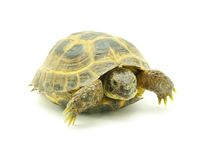 Turtle. Reptile turtle isolated on white royalty free stock image