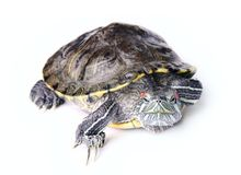 Turtle. On a white background Royalty Free Stock Photos