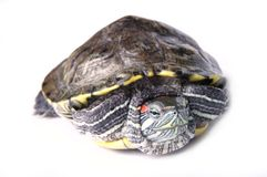 Turtle. Marsh turtle on a white background Stock Images