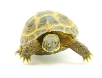 Turtle. Reptile turtle isolated on white stock image
